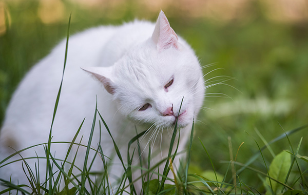 why-does-my-cat-eat-grass