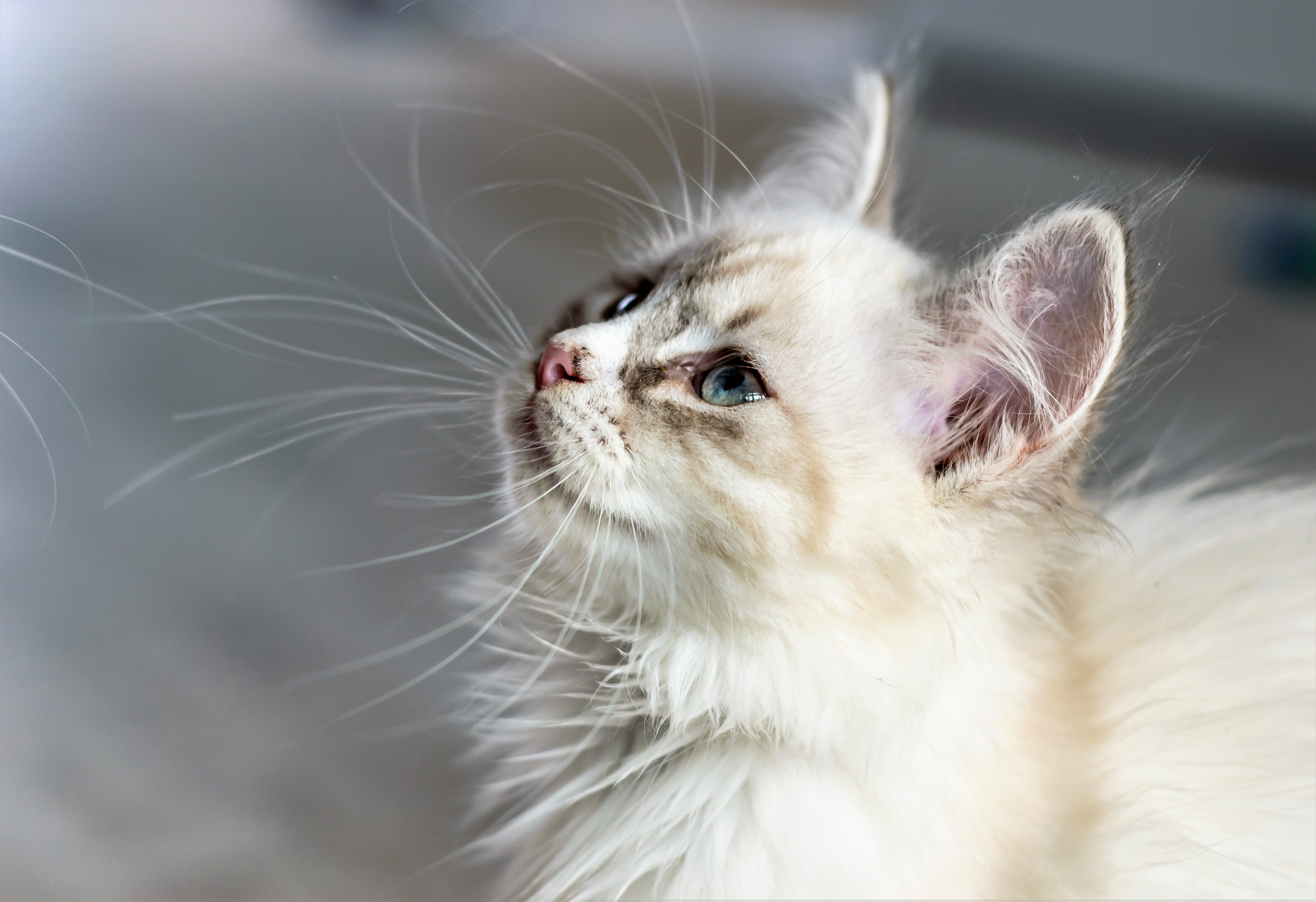 Will My Kitten Be Short Or Longhaired Your Cat