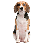 Hound dog breed profiles