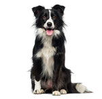 Pastoral dog breed profiles