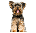 Toy dog breed profiles