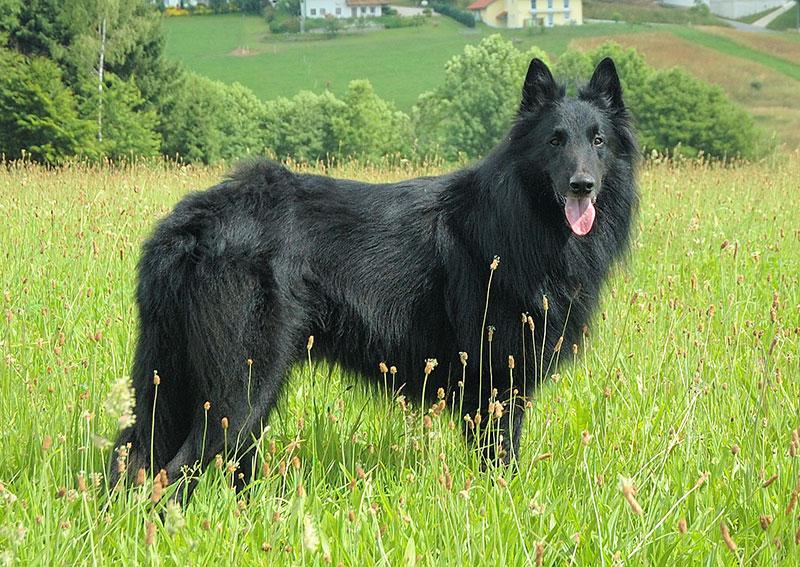 Belgian Shepherd Groenendael breed profile