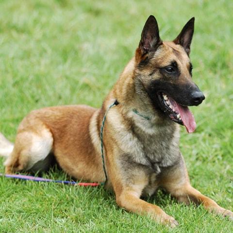Belgian Shepherd Malinois breed profile
