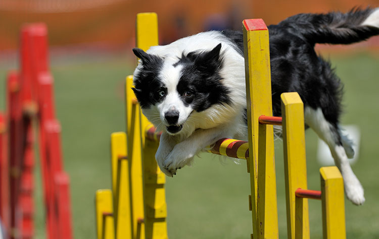 About dog agility