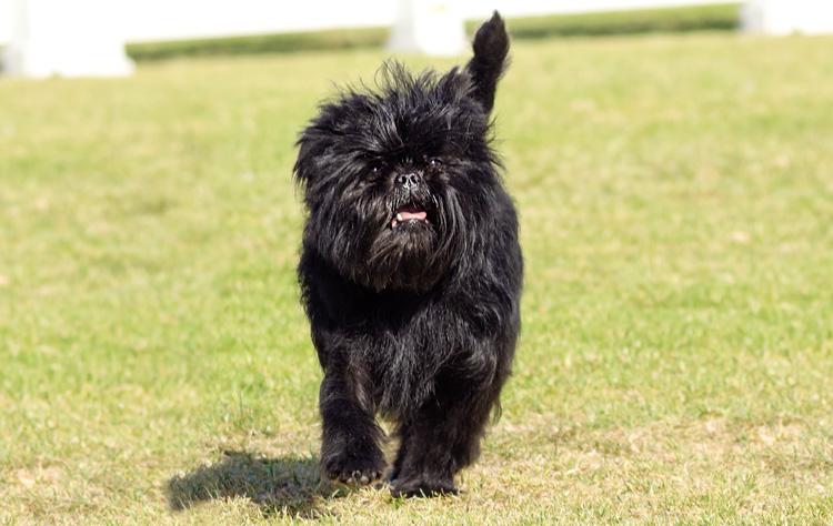 Affenpinscher dog breed profile