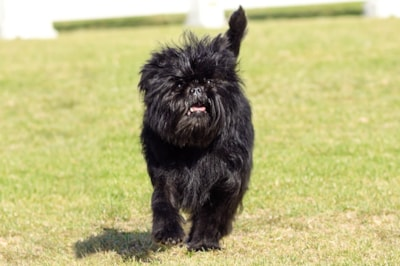 Affenpinscher dog breed profile