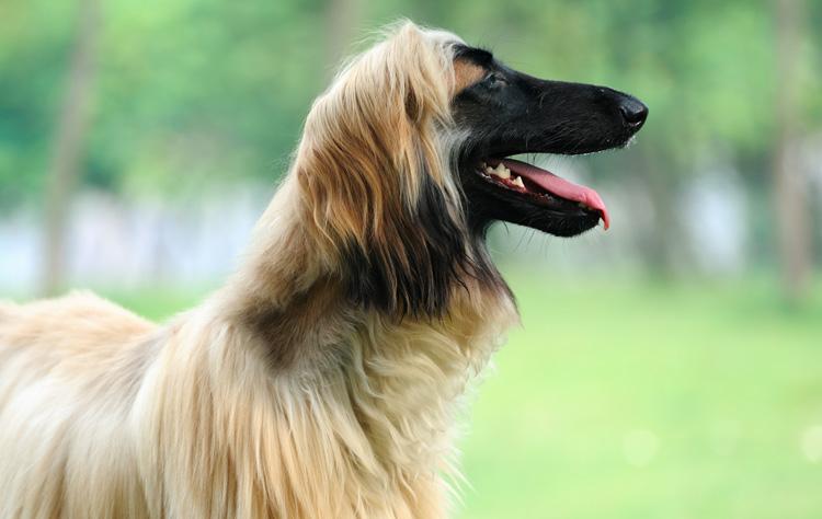 Afghan Hound dog breed profile