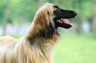 Afghan Hound dog breed profile