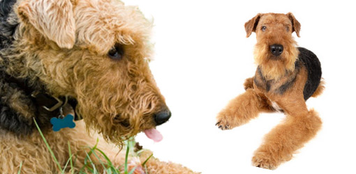 Airedale Terrier dog breed profile