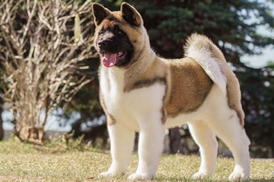 Akita dog breed profile
