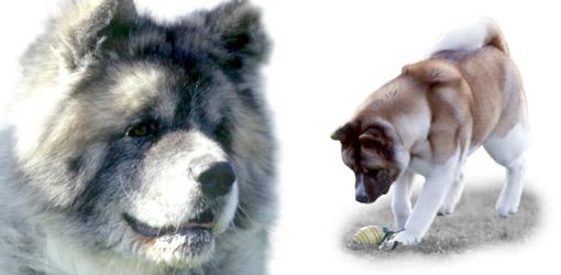 Akita dog breed profile