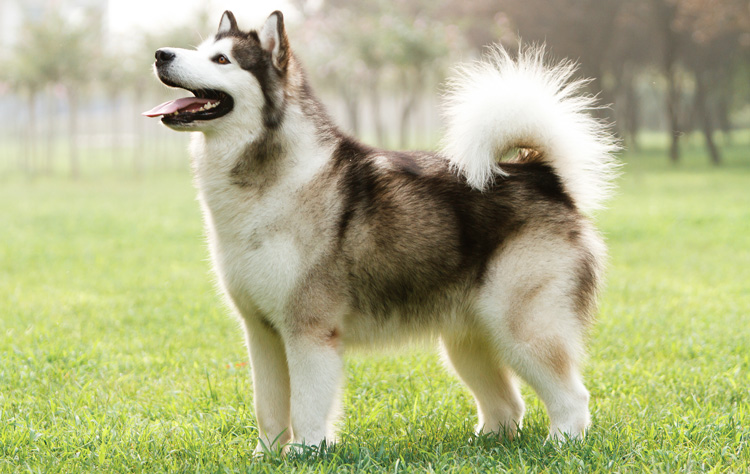 Alaskan Malamute dog breed profile