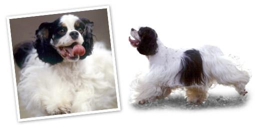 American Cocker Spaniel dog breed profile