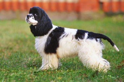American Cocker Spaniel dog breed profile