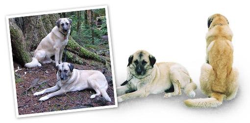 Anatolian Shepherd dog breed profile