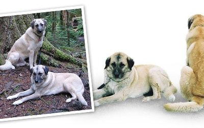 Anatolian Shepherd dog breed profile