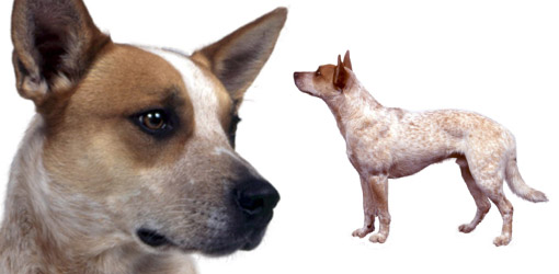 Australian Cattle dog breed profile