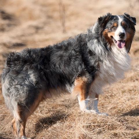 Australian Shepherd Breed Profile