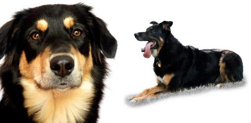 Australian cattle dog breed profile