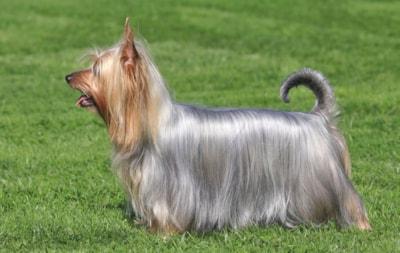 Australian Silky Terrier dog breed profile