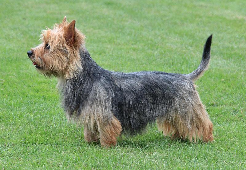 Australian Terrier Breed Profile