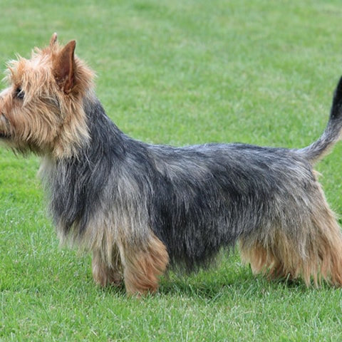 Australian Terrier Breed Profile