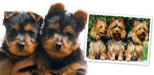 Australian Terrier dog breed profile