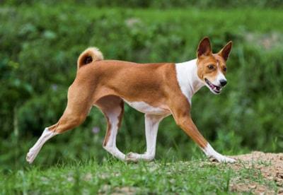 Basenji dog breed profile