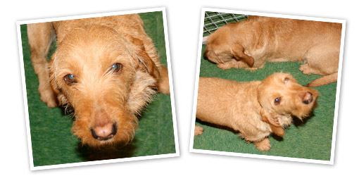 Basset Fauve De Bretagne dog breed profile