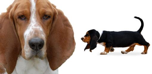 Basset Hound Dog Breed Profile