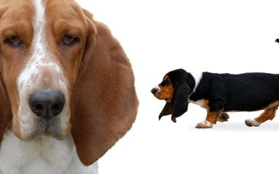 Basset Hound Dog Breed Profile