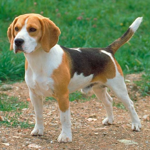 Beagle Dog Breed Profile