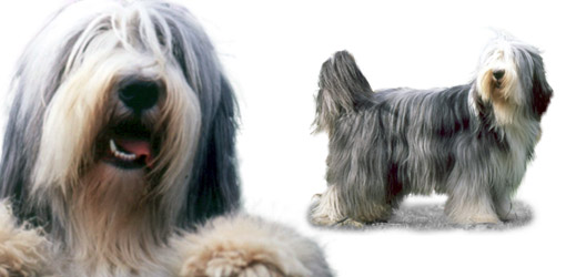 Bearded Collie dog breed profile