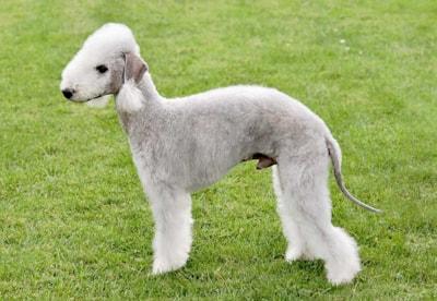 Bedlington Terrier dog breed profile