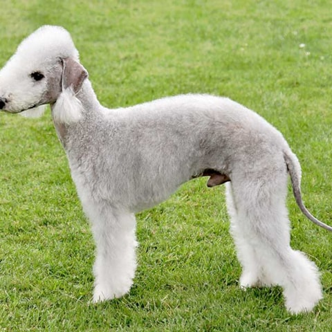 Bedlington Terrier dog breed profile