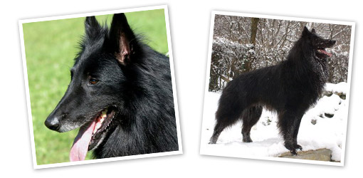 Belgian Shepherd Groenendael dog breed profile