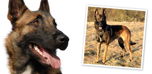 Belgian Shepherd Malinois dog breed profile