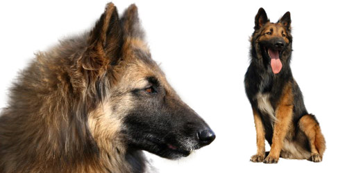 Belgian Shepherd Tervueren dog breed profile