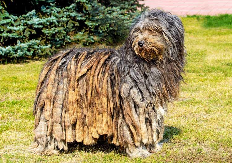 Bergamasco dog breed profile