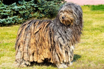 Bergamasco dog breed profile