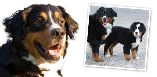 Bernese Mountain Dog breed profile