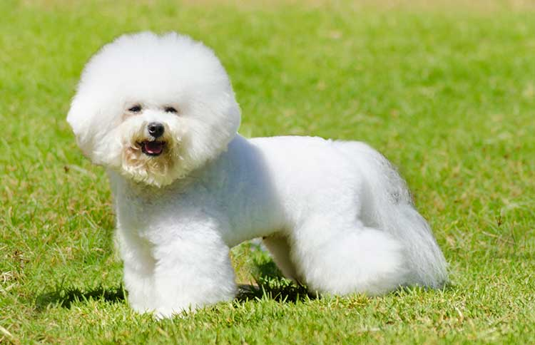 Bichon Frise dog breed profile