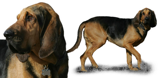 Bloodhound dog breed profile