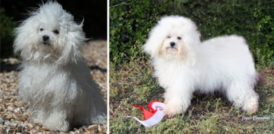 Bolognese dog breed profile