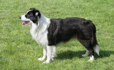 Border Collie dog breed profile