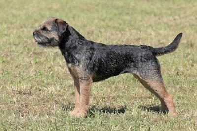 Border Terrier Breed Profile