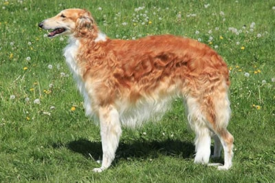 Borzoi dog breed profile
