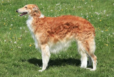 Borzoi dog breed profile