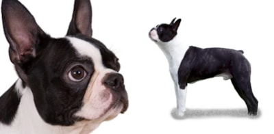 Boston Terrier dog breed profile