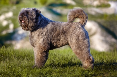 Bouvier Des Flandres Dog Breed Profile